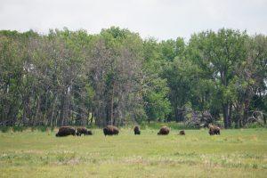 Herd of Bison in Denver, Colorado