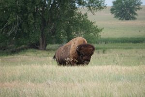 Bison in the preserve