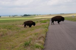 Bison crossing the street at the Rocky Mountain Arsenal