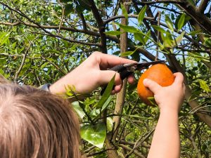picking your own oranges in florida