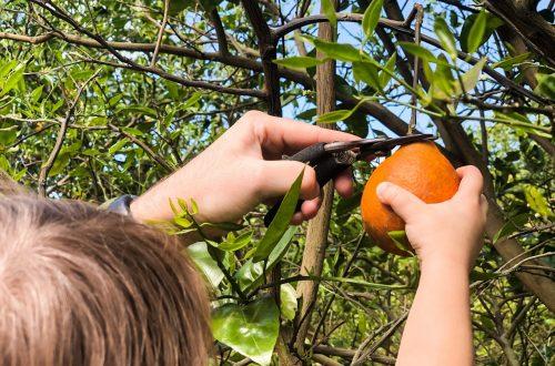 Orange Picking In Florida
