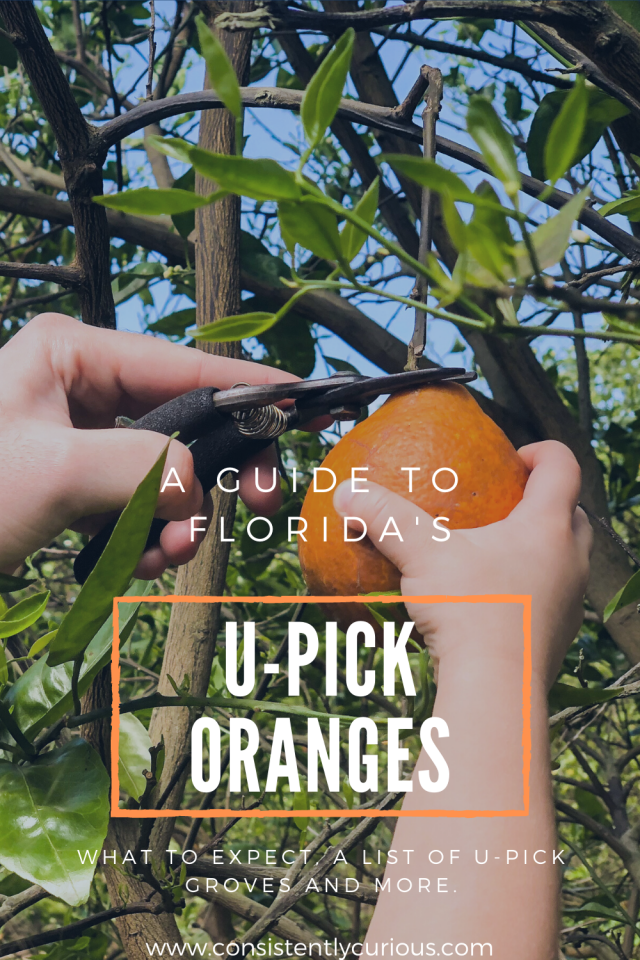 upick oranges in florida