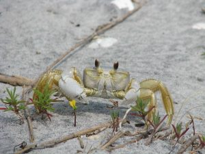 Ghost Crab Hunting
