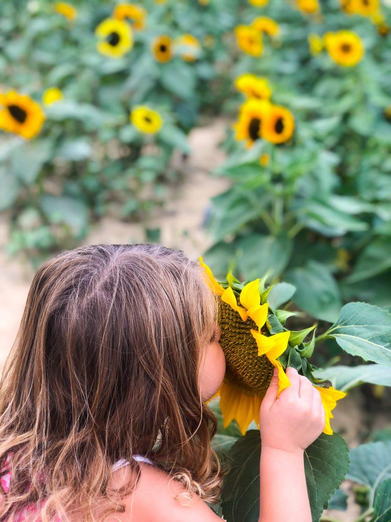 Sunflower fields at bloom and berries in Cincinnati